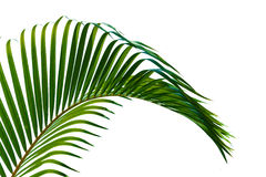 Palm leaves. Close up  isolated on white background Stock Images