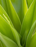 Palm leaves closeup Royalty Free Stock Photography