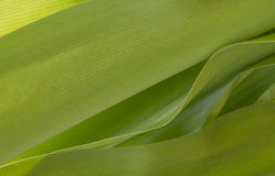 Palm leaves closeup Stock Photography