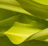 Palm leaves closeup Royalty Free Stock Photos
