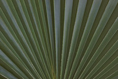 Palm Leaves. Closeup from Green Palm Leaves Stock Images