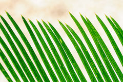 Palm leaves closeup pattern Stock Images