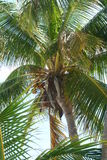 Palm Leaves with coconuts. Looking up at a close up of palm leaves Stock Photos