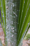 Palm leaves densely covered with scale insects. Mealy mealybug. Royalty Free Stock Photography