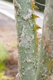 Palm leaves densely covered with scale insects. Mealy mealybug. Stock Photography