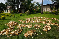 Palm leaves drying in Navala village, Viti Levu, Fiji Stock Images