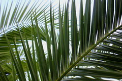 Palm Leaves. Greek palm leaves overlapping eachother Stock Photos