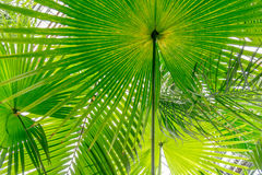 Palm leaves green background pattern Royalty Free Stock Images