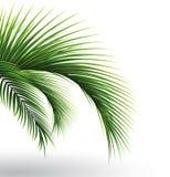 Palm leaves. Green leaf of palm tree on transparent background. Floral background