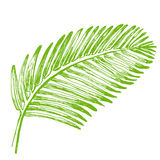 Palm leaves illustration. Tropical jungle plant. Stock Images