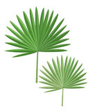 Palm leaves isolated. Royalty Free Stock Photography