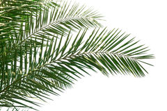 Palm Leaves. Isolated Palm Leaves on white background Royalty Free Stock Image