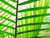 Palm Leaves. Layers of back lit palm leaves Stock Images