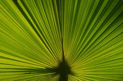 The palm leaves with the light from the sun shining from the back makes the lines of the fibers. stock photography
