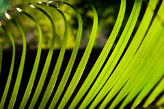 Palm leaves macro Royalty Free Stock Photography