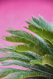 Palm Leaves. On Pink Background Royalty Free Stock Image