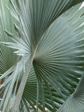 Palm leaves. Seen in close-up the palm leaves create semi-abstract geometric shapes Stock Image