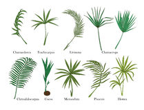 Palm leaves set. Isolated on white. Colored. Royalty Free Stock Photo