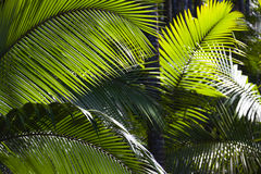 Palm leaves in the sun Stock Photography
