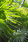 Palm leaves in the sun Royalty Free Stock Images