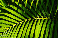 Palm leaves in sunlight Royalty Free Stock Photography