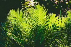 Palm leaves with sunlight shining through. And jungle bokeh in the background Royalty Free Stock Image