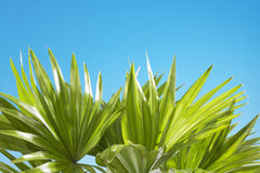 Palm leaves sunny blue sky in the background Stock Photography
