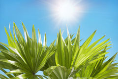 Palm leaves sunny blue sky in the background Royalty Free Stock Image