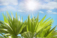 Palm leaves sunny blue sky clouds in the background Royalty Free Stock Photos