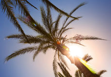 Palm leaves in the sunshine with sunbeam Royalty Free Stock Photography