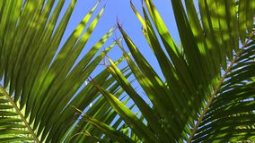 Palm leaves swaying gentle in the wind. Palm leaves swaying under the blue sky stock footage