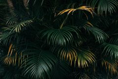 Palm leaves texture with dark tropical forest background. Palm leaves texture with tropical forest background Stock Photos