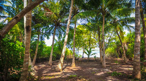 Palm leaves.Tropical Forest on the island in indian ocean.Beautiful landscape of humid tropical jungle. Tropical forest. Palm leaves.Tropical Forest on the Stock Photos