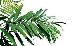 Palm leaves, tropical rainforest foliage plant isolated on white. Background, clipping path included stock photos