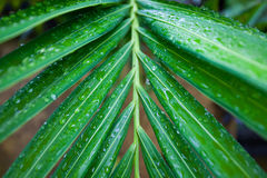 Palm leaves in the tropics after rain. Wet palm leaves after rain with shiny drops Royalty Free Stock Image