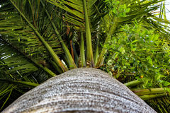 Palm leaves and trunk Royalty Free Stock Photos