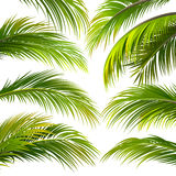 Palm leaves. Vector. Palm leaves isolated on white. Vector illustration Royalty Free Stock Image