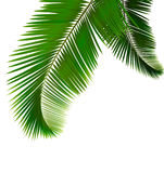 Palm leaves on white background. Royalty Free Stock Image
