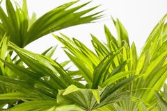 Palm leaves on white background Stock Image