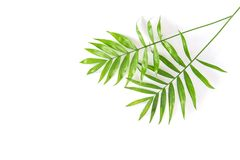 Palm leaves summer floral flat lay. Palm leaves on white background. Summer floral flat lay Royalty Free Stock Photo
