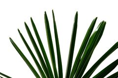 Palm leaves on white isolated background for green foliage backdrop. Tropical tree leaves branches white isolated background green foliage backdrop agriculture royalty free stock image