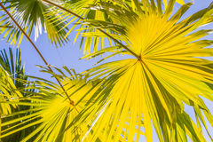 Palm leaves yellow Stock Photos