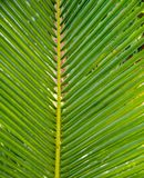 Palm leavs. close up Royalty Free Stock Image