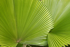 Palm left. Palm leafs in the forest Royalty Free Stock Image