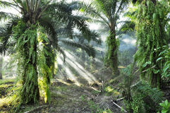 Palm Light Fog Day Outdoor Farm Royalty Free Stock Image
