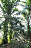 Palm Light Fog Farm Day Outdoor Royalty Free Stock Photo