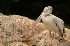 Beautiful Pelican on the rocks. Palm-like bird about 150 cm long, with white plumage, short legs, slender neck and dark bill, long and wide, with a membrane in royalty free stock images