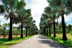 Palm lined street. A garden filled with palm trees Stock Photos