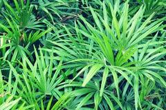 Palm (Livistona Rotundifolia) Stock Afbeelding