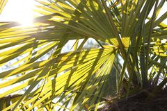 Palm with long leaves and the Sun high Stock Images